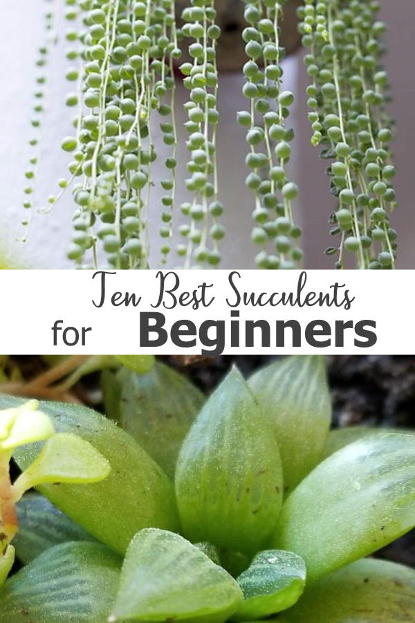 Ten easy care options to get started with  - 10 Best Succulents for Beginners...