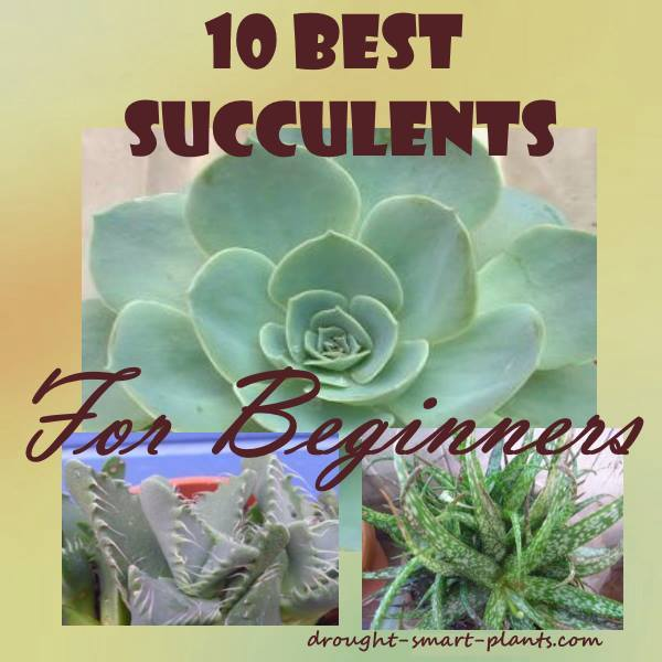 If you're just starting out, these are some good options of succulent plants to start with...