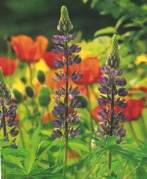 Lupins are great Xeric Plants