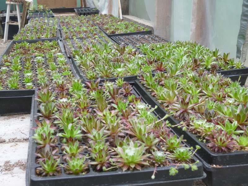 Sempervivum plugs fill the greenhouse