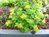 Sedum for Green Roofs