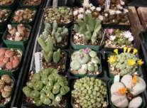 Lithops, Conophytum and Opthalmos