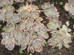 Graptopetalum species