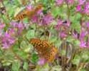 Great Spangled Fritillaries on Sedum