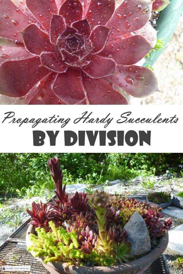 Propagating Hardy Succulents by Division
