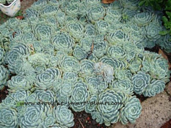 Echeveria, also known as hens and chicks - confused yet?