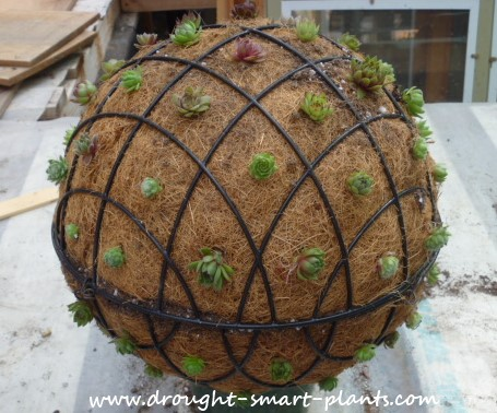Succulent Sphere planted with Sempervivum
