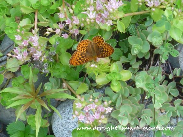 Butterflies love Sedum - for more flowers over a long season, plant many kinds together