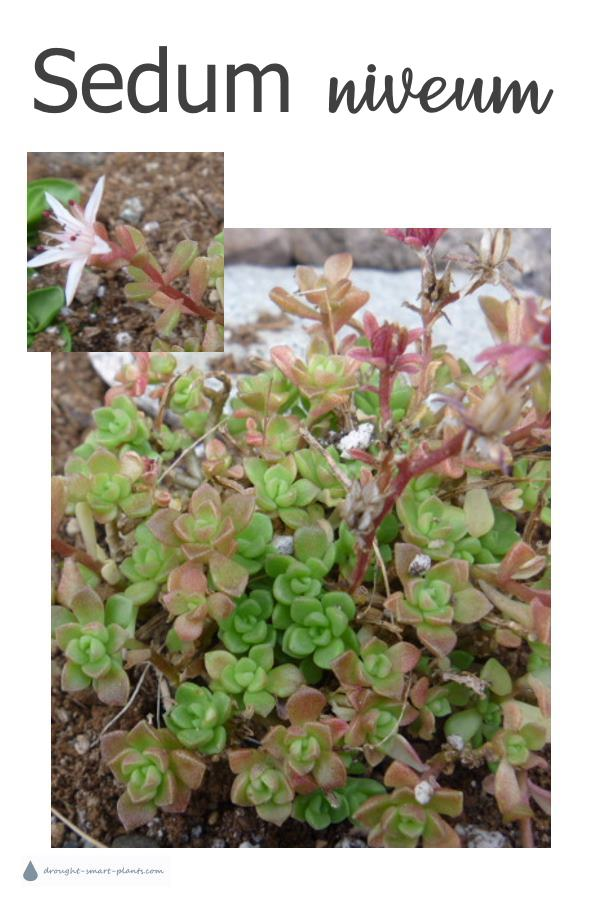 Sedum niveum, sweet little stonecrop for rockeries, hypertufa pinch pots, and mixed miniature gardens
