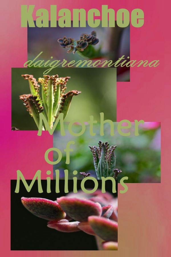 Kalanchoe daigremontiana - the Mother of Thousands (or millions)
