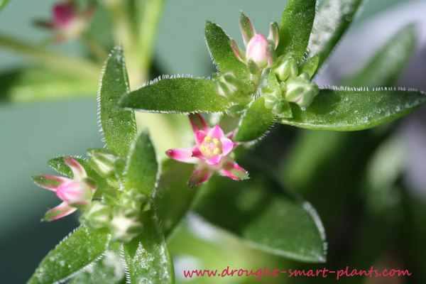 the power of the lens - a close up of a Crassula flower