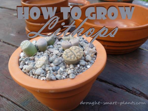 How to Grow Lithops