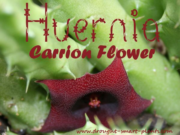 Huernia species in bloom