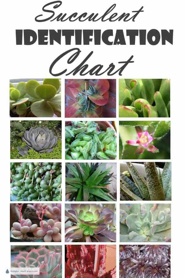 Succulent identification chart find your unknown plant here for Different types of succulent plants