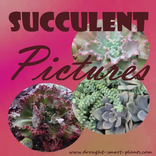 Lovely, lush Succulent Pictures...