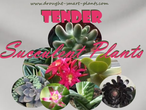 Breautiful lush tender succulent plants...
