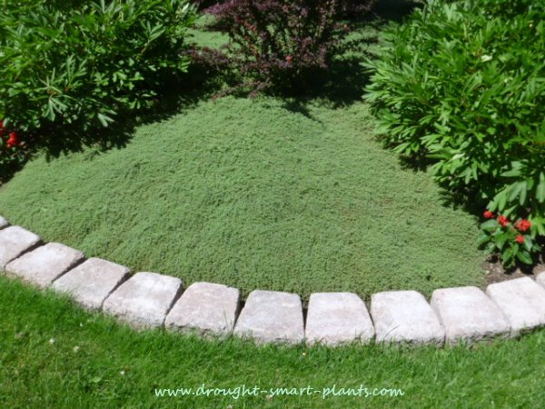Thyme lawn low maintenance tough turf alternative for Alternative garden edging