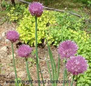 Allium shoenaprasu