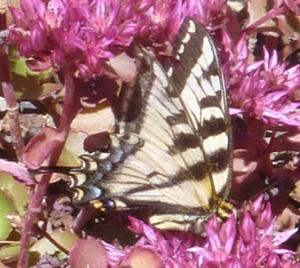 Anise Swallowtail Buttefly