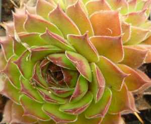 One of the many thousands of beautiful Sempervivum...