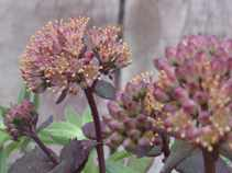 Border Sedum Purple Emperor