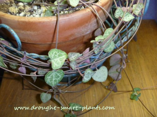 Ceropegia woodii; Hearts Entangled...