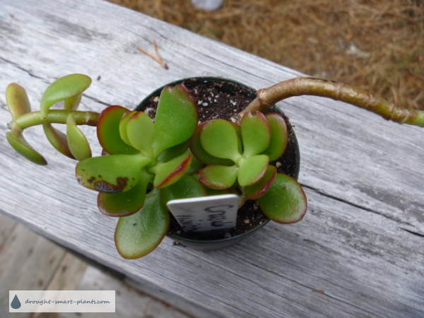 Jade Plants are easy to grow from cuttings