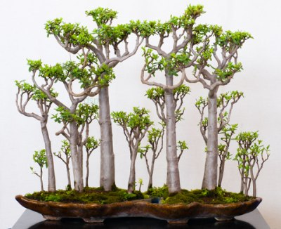 Gorgeous Crassula bonsai forest
