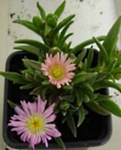 Delosperma, the ice plant