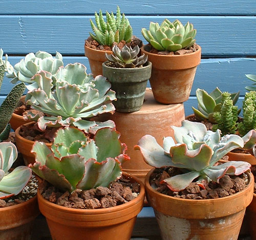 Echeveria hybrids in a mixed succulent collection
