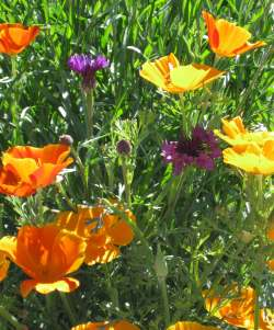 Eschscholizia, the California poppy