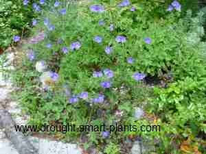 Geranium 'Johnsons Blue