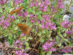Great Spangled Fritillaries on Sedum Blooms - see more about Sedum