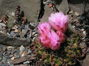 Hardy Cactus in bloom; so pretty, so deadly