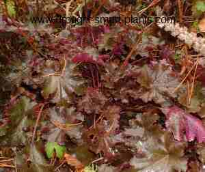 Heuchera 'Chocolate Curls