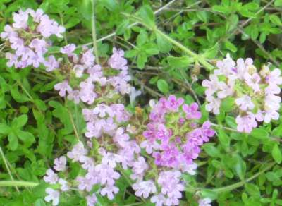 How to Grow Bressingham Pink Thyme