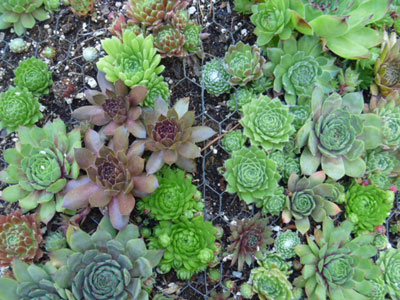 Sempervivum Mosaic