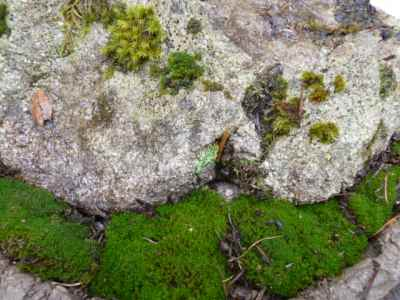 There are many kinds of moss that like to grow on granite boulders
