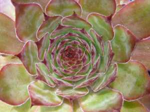 Sempervivum Gypsy in July