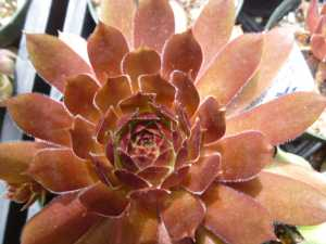 Sempervivum Eminent in July