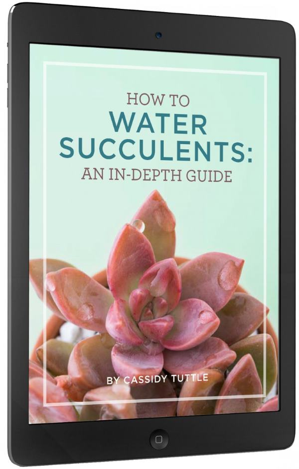 Find out how to water your succulents