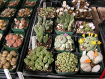 Lithops and related pebble plants
