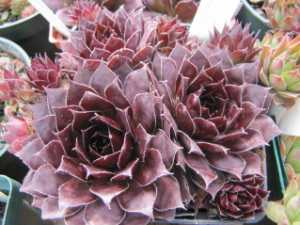 Sempervivum Black in March