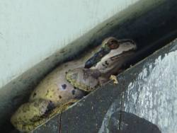 Pacific Tree Frog on the door of Glory Be