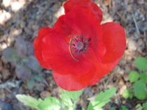 Papaver rhoes, the Flanders Poppy