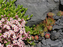 Tiny sweet crevice garden with exquisite alpine plants