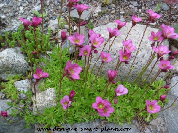 Saxifraga arendsii 'Purple Robe' - one of the most fragile seeming,  yet tough garden plants around