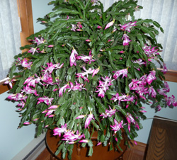 Schlumbergera, the Holiday Cactus