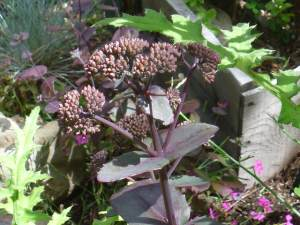 Sedum 'Purple Emperor' in bud