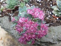 Sedum cauticola in full bloom